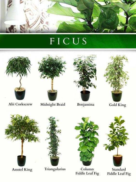 Tipos de Ficus